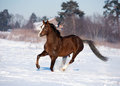 Horse runs in winter the Stock Images