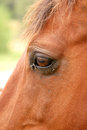 Horse s head and flies close up of a with around eye Stock Photos