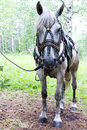 Horse saddled rideable and bridled white standing in forest tied to a tree shot was done in the altai region russia Royalty Free Stock Images