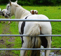 Horse scratching its bottom against a gate field of horses in farm next to thornton lake in leicestershire england when one came Royalty Free Stock Images