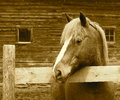 Horse In Sepia Tone Royalty Free Stock Photo