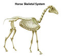 Horse skeletal system illustration of the on a white background Stock Photo