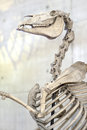 Horse skeleton. Bones Royalty Free Stock Photo