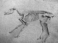 Horse skeleton in a desert Royalty Free Stock Photo