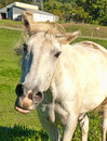 Horse snorting farm shaking his head and Royalty Free Stock Photos