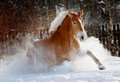 Horse in snow palomino running Royalty Free Stock Photo