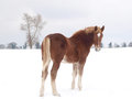 Horse in the snow a single a field covered by Stock Photo