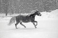Horse in snowstorm is running winter Stock Photos