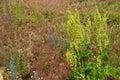 Horse sorrel on herbage background rumex confertus Stock Photo