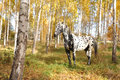 Horse with spots white black in a birch forest in the fall Stock Photos
