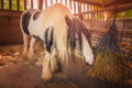 Horse in a stable beautiful white eating hay his on farm Royalty Free Stock Image
