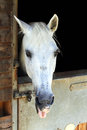 Horse in stable white funny the Royalty Free Stock Photos