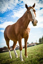 Horse standing with blue skies a beautiful portrait of a in summer Stock Images