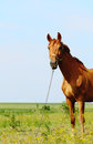 Horse standing in field alone summertime Royalty Free Stock Photo