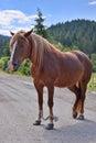 Horse standing on the road beautiful carpathians ukraine Royalty Free Stock Image