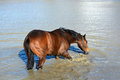 Horse standing in water drinking a beautiful thoroughbred lake and Royalty Free Stock Images