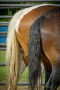 Horse tails on two horses Royalty Free Stock Photography