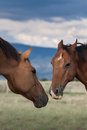 Horse to horse interaction two horses interacting nose nose body language helps discern who is dominant Stock Image