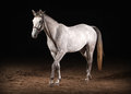 Horse trakehner gray color on dark background with sand Royalty Free Stock Photography