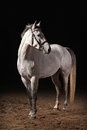 Horse trakehner gray color on dark background with sand Royalty Free Stock Images