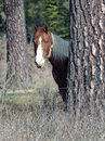 Horse by a tree horsestanding near in pasture in north idaho Stock Photography