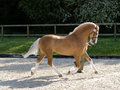 Horse trotting in the show ring a beautiful palomino stallion trots up Royalty Free Stock Photo