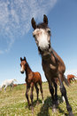 Horse very interested in pasture sunny day Royalty Free Stock Images