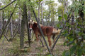 Horse wag its tail brown with reins in the forest Royalty Free Stock Images