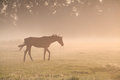 Horse walking in morning mist Royalty Free Stock Photo