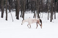 Horse walks in the snow