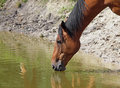 Horse on watering a drinks water from a lake Stock Photos