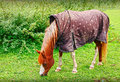 Horse wearing blanket grazing and coat Royalty Free Stock Image