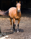Horse on West Virginia Farm Royalty Free Stock Photography