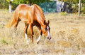 Horse with a white blaze on his head stand on a dry grass on a background of trees Royalty Free Stock Photo