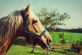 Horse with white mane on green field Stock Image