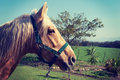 Horse with white mane on green field Stock Photos