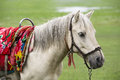 Horse a white with saddle Royalty Free Stock Photography