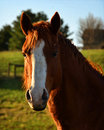 A Horse With A White Spot On H...
