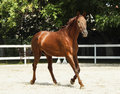 Horse with a white spot on it's head is running in the paddock next to white fence Royalty Free Stock Photo
