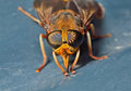Horsefly 5 Royalty Free Stock Photo
