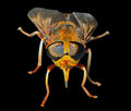 Horsefly 8 Royalty Free Stock Photo