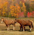 Horses in autumn Stock Images