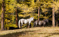 Horses in autumn wood Royalty Free Stock Photo