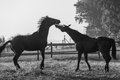 Horses black white interaction jumping nipping in paddock in late afternoon in and contrasts with affection between two ex race Royalty Free Stock Images