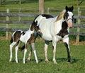 Horses 63 Royalty Free Stock Photo
