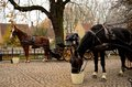 Horses carriage on cobbled street in medieval town two wait at a the of brugge belgium one horse eats from a bucket while the Royalty Free Stock Photo