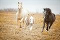 Horses chase donkey Royalty Free Stock Photo
