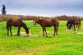 Horses chewing hay on green field Royalty Free Stock Photo