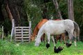 Horses and chickens Royalty Free Stock Photo