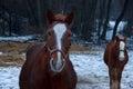 Horses Closeup Royalty Free Stock Photo